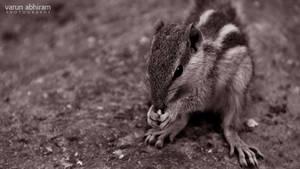 Squirrel by varunabhiram
