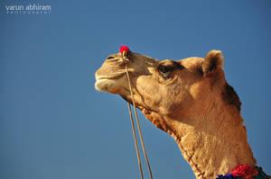 Camel by varunabhiram