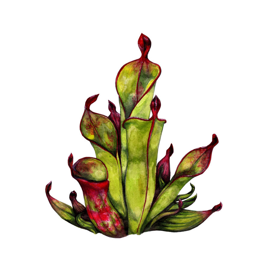 Pitcher plant drawing - photo#21