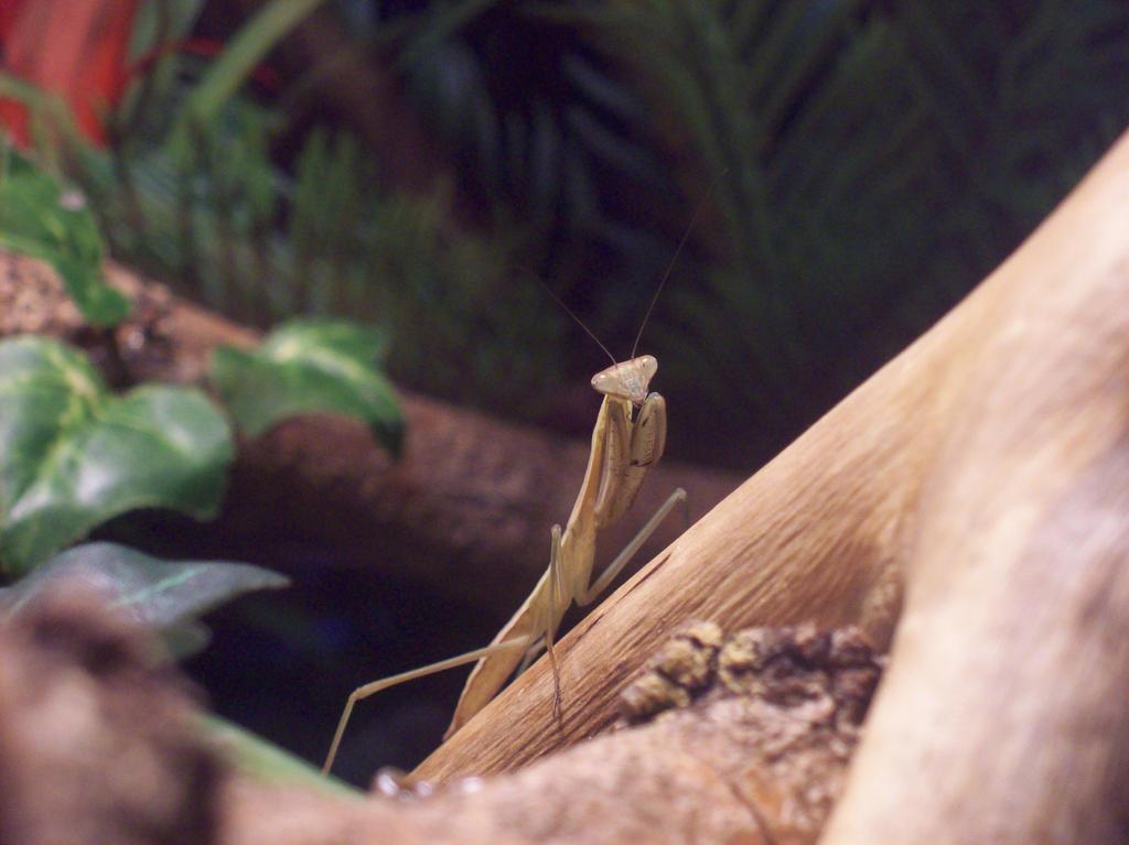 Mantis 5th instar by Crowdingfever