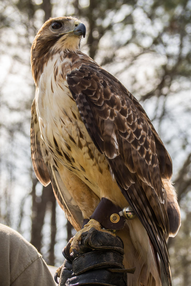 Red-tailed Hawk by captainslack