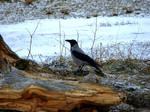 Ground Based Crow
