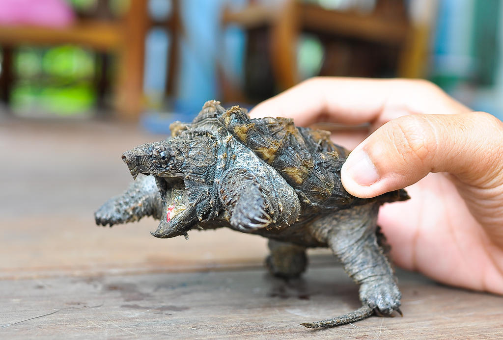 Alligator Snapping Turtle (3)