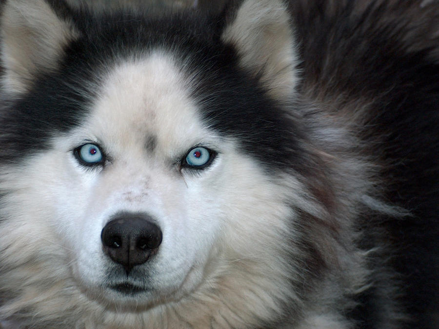 hafbiocrysa: Husky Eyes