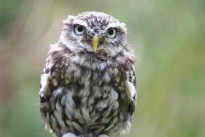 Wise Owl 4548627 by StockProject1