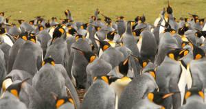 King Penguins 7438890