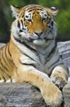 Tiger Watching 8397120