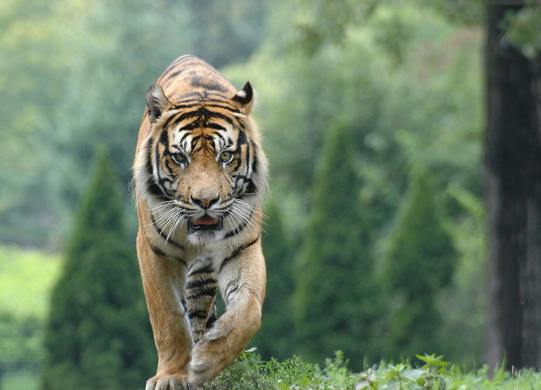 Roaming Tiger 11225171 by StockProject1