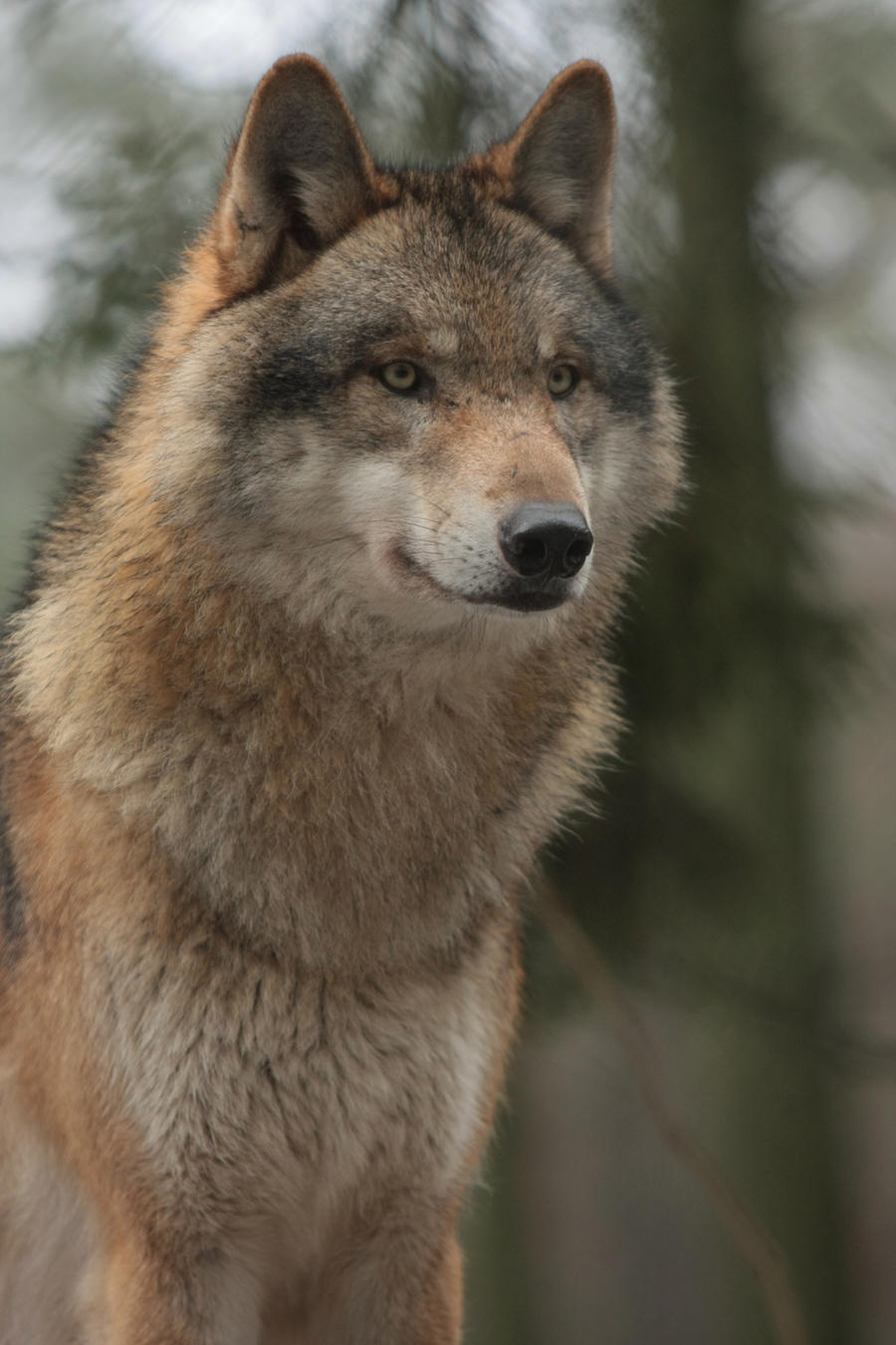 Intense Wolf 12187749 by StockProject1