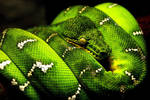 Wild Snake 15250032
