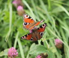 Flutter Butterflies 15462852 by StockProject1