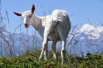 White Goat 15886160
