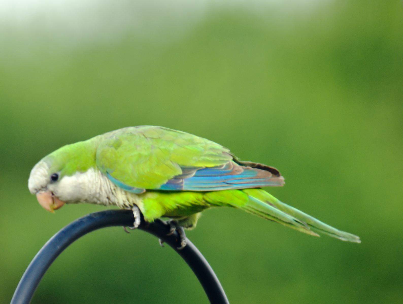 Types of Parrots  All Pet Birds