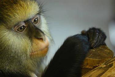 Monkey Portrait 17259504 by StockProject1