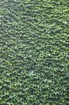 Green Ivy 728468