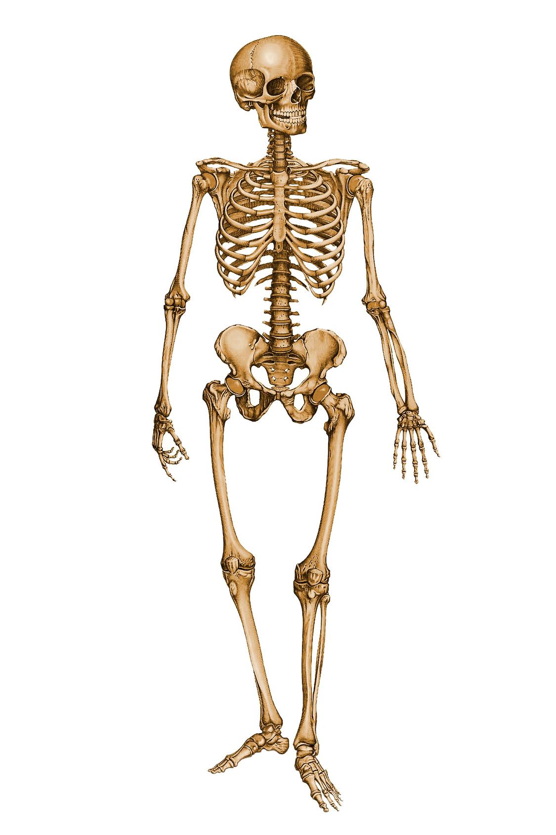 Human Skeleton 12029879