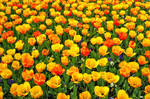 Tulip Field 467728
