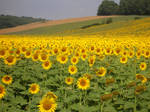 Sunflower Field 1195007