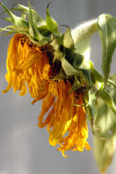 Sad Sunflower 1793303 by StockProject1