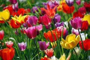 Colorful Tulips 2996021 by StockProject1