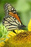 Beautiful Butterfly 4378390