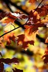 Fall Foliage 10121130
