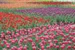 Tulip Field 14282379