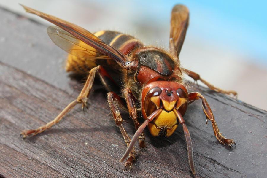 Hornet identification