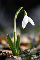 White Snowdrop 15325957 by StockProject1