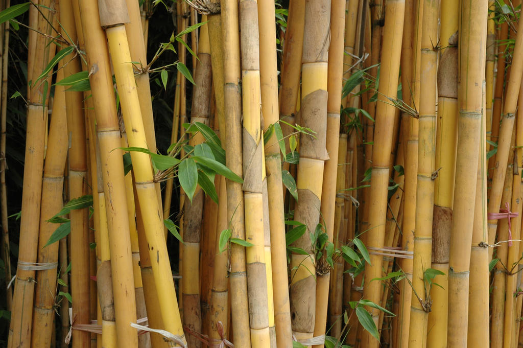 Bamboo Forrest