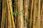 Bamboo Forest 15394689 by StockProject1
