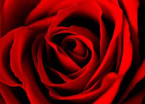 Lovely Rose 15713006