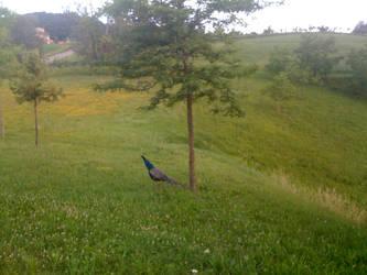 peacock in my garden  LOL by Thiefmarine