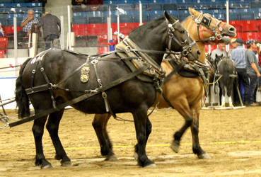 Pony Pull Duo