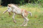Gypsy Cob Foal Stock 39