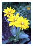 Yellow by druideye