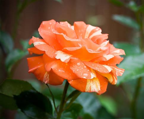 Rosey Rose