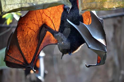 Fruit Bat : Animal Kingdom