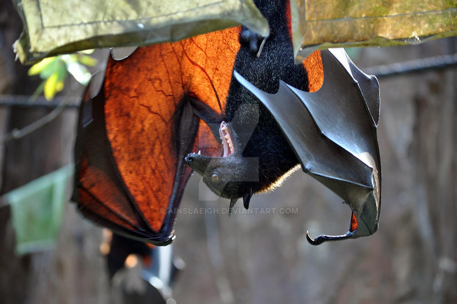 Little Brown Bat  Watchable Wildlife  NYS Dept of