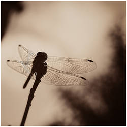 untitled anisoptera by amsterdam-jazz