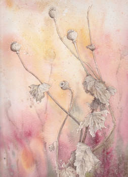 Dead Poppy seedheads