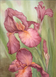 Russet Iris by louise-art