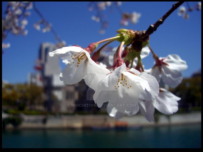 Hiroshima Sakura by InochiToHi