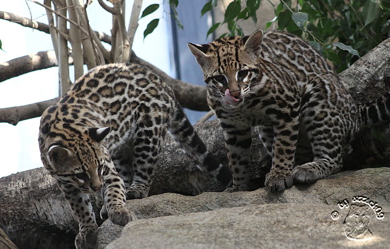 Ocelot Cubs Two... Kittens For Sale