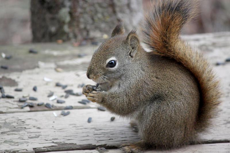 American Red Squirrel 16 by WesternHemlock