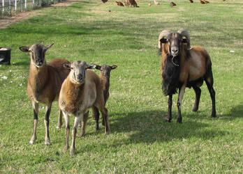 Family of Sheep by Knightpony