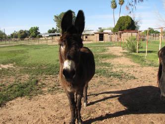 Donkey by Knightpony