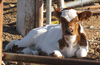 Calf by Knightpony