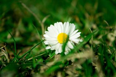 Spring Daisy 2 by alwaysmood