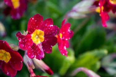 Beatiful red flowers after rain by alwaysmood